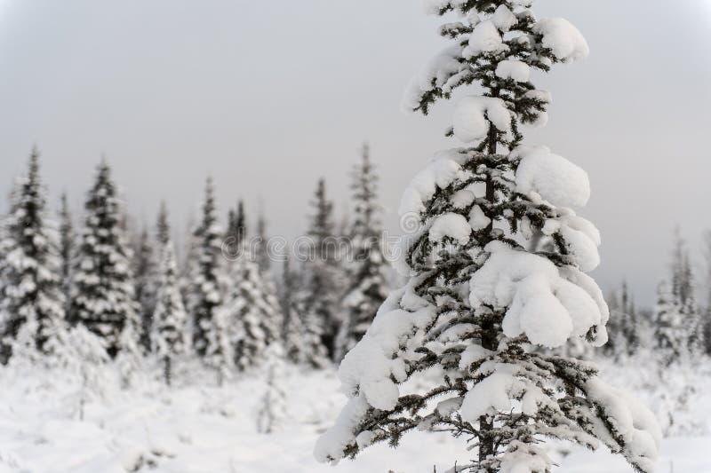 Ein Schneedeckebaum vor dem Wald stockfotos