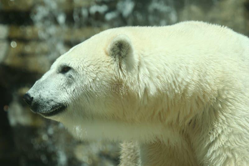 Ein Schuß eines Eisbären lizenzfreies stockfoto