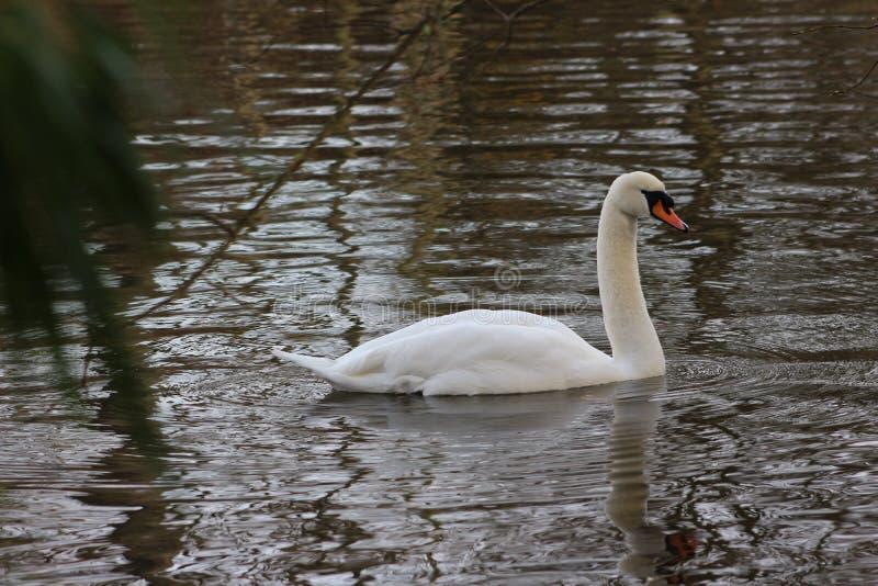 Ein Schwan im Teich lizenzfreie stockbilder