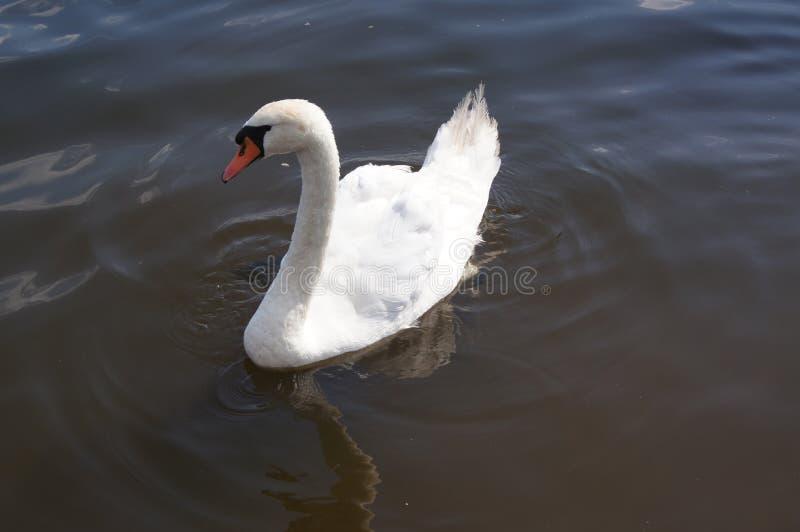 Ein Schwan in seinem natürlichen environement: Wasser, See lizenzfreies stockfoto