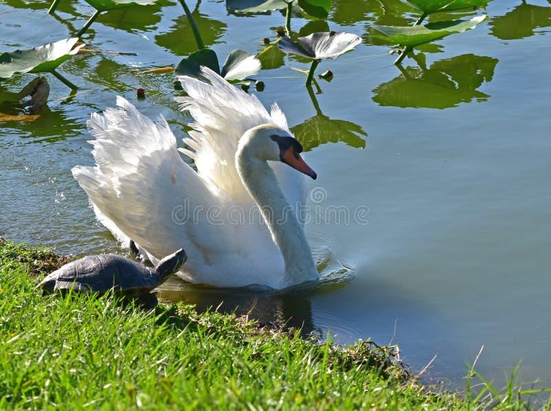 Ein Schwan sieht durch eine Schildkröte aufgerüttelt aus Eine große und mannigfaltige Anzahl von Vögeln machen See Morton ein Hau stockfoto