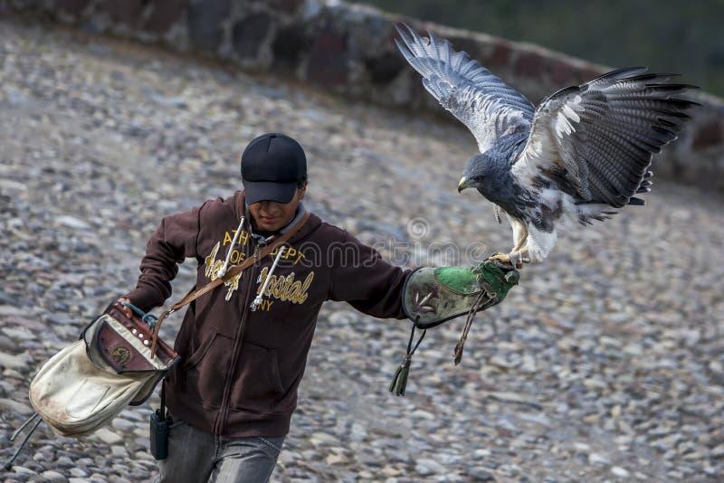 Ein Schwarz-chested Bussardadler landet auf der behandschuhten Hand eines Vogellenkers am Kondor-Park in Otavolo in Ecuador lizenzfreie stockfotos
