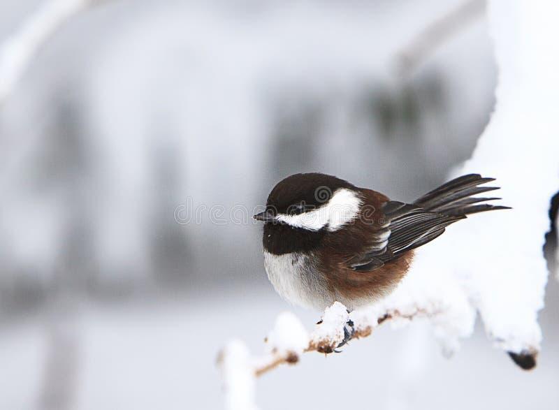 Ein Schwarz-mit einer Kappe bedeckter Chickadee auf Snowy-Niederlassung stockfotografie