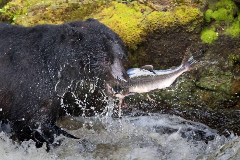 Ein schwarzer Bär, der einen Lachs in einem Fluss mit Spritzen und Schnellimbiß Blut Alaskas isst stockfotografie