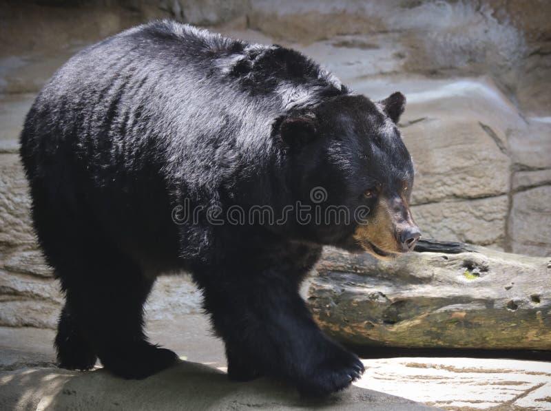 Ein schwarzer Bär holzt entlang einer Felsen-Leiste ab stockfotografie