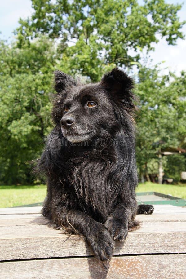 Ein schwarzer flaumiger Hund wartet auf die Terrasse lizenzfreies stockbild