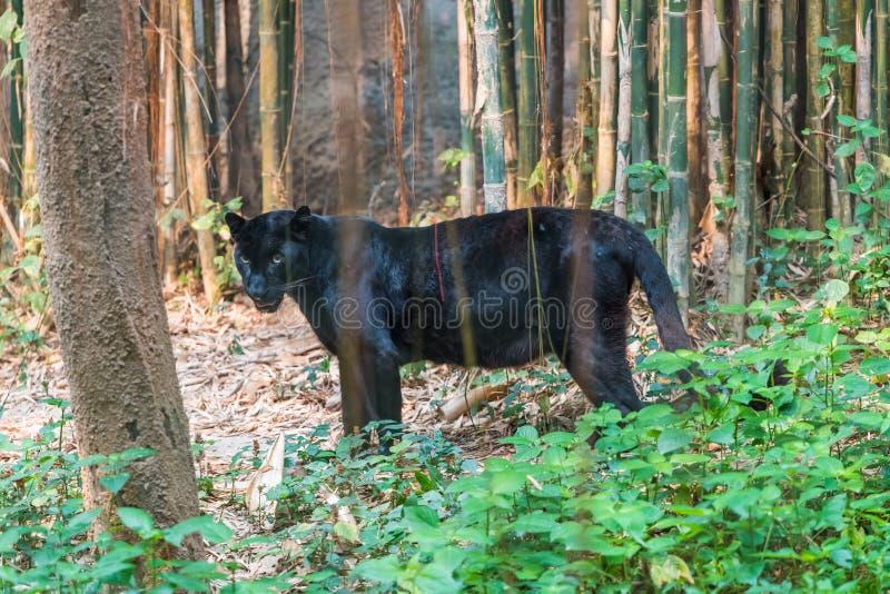 Ein schwarzer Panther ist die melanistic Farbvariante der großen Katze stockfoto