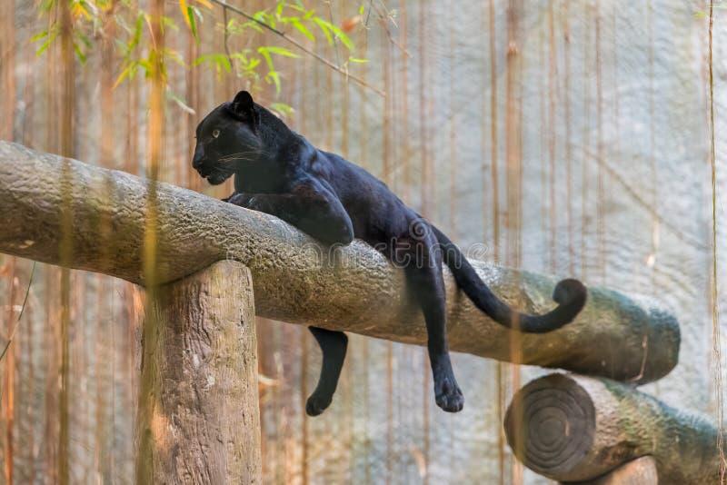 Ein schwarzer Panther ist die melanistic Farbvariante der großen Katze lizenzfreies stockbild