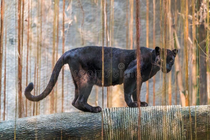 Ein schwarzer Panther ist die melanistic Farbvariante der großen Katze stockbilder