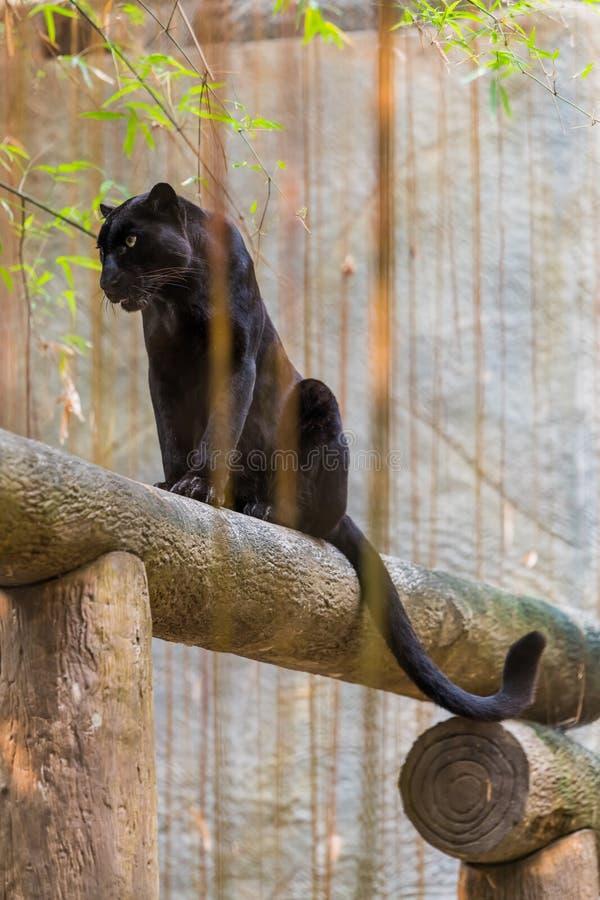 Ein schwarzer Panther ist die melanistic Farbvariante der großen Katze lizenzfreie stockbilder