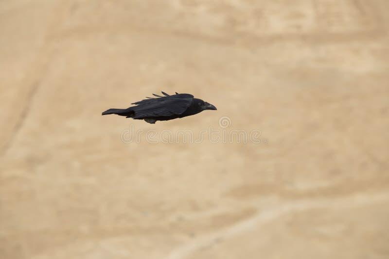 Ein schwarzer Rabe fliegt und faltet seine Flügel wie ein Pfeil auf einem blurr stockfoto
