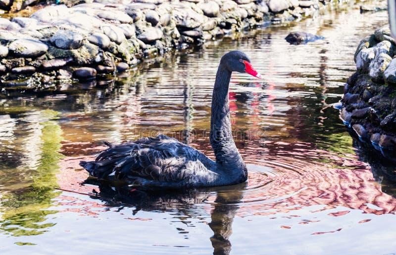 Ein schwarzer Schwan in einem Teich stockfotos