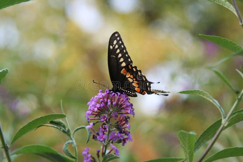 Ein schwarzer Swallowtail-Schmetterling, der auf purpurrote Blüten einzieht lizenzfreie stockbilder