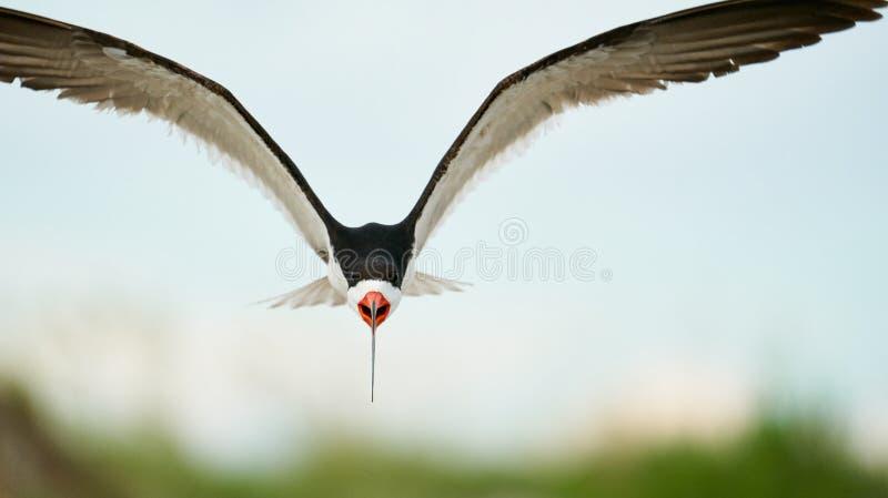 Ein schwarzes Abstreicheisenfliegen über dem Strand stockfotografie