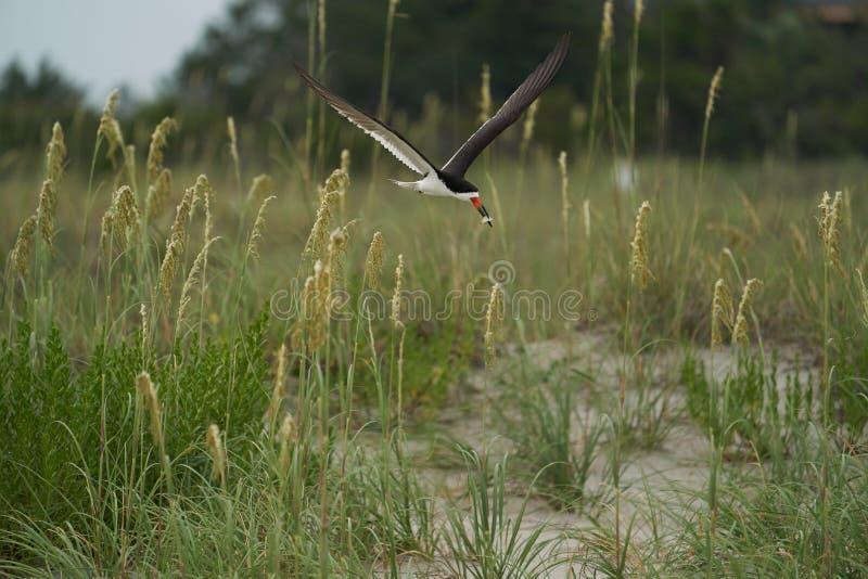 Ein schwarzes Abstreicheisenfliegen über Seehafern und dem Strand stockfoto