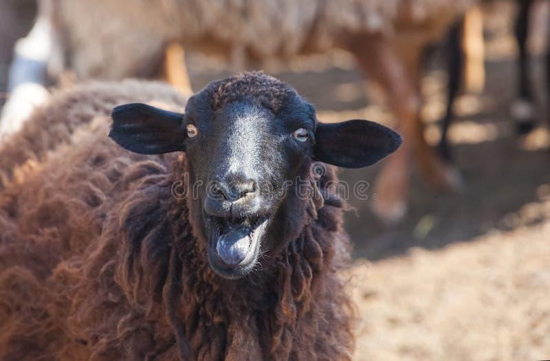 Ein schwarzes Schaf zeigt die Zunge in einer Koppel lizenzfreies stockfoto