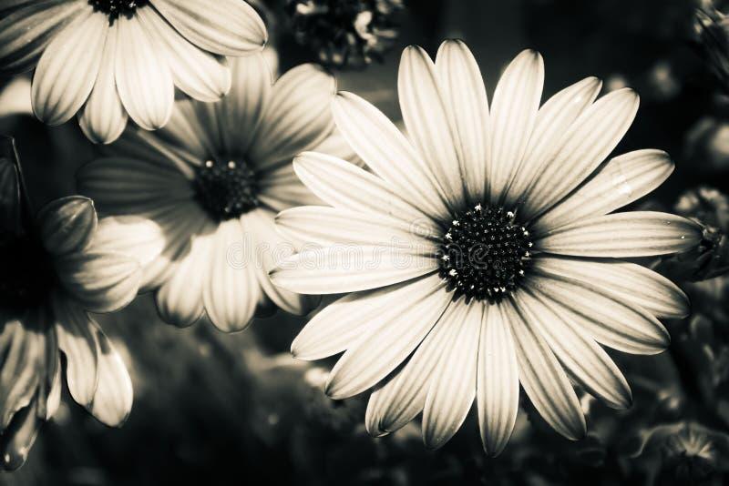 Ein Schwarzweiss-Bild einer Blume stockfotografie