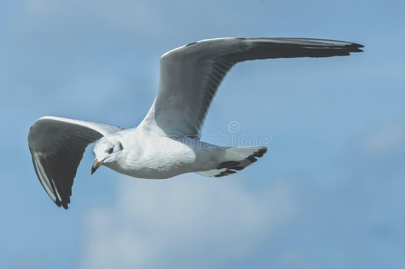 Ein Seemöwenfliegen in der Luft lizenzfreies stockfoto