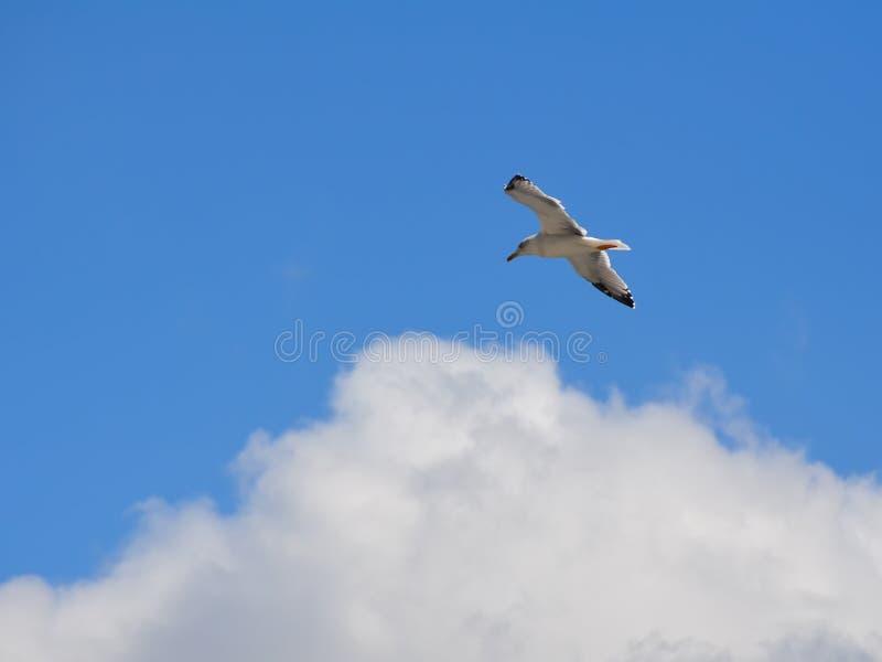 Ein Seemöwenfloss in der Luft auf dem Hintergrund einer großen weißen Wolke stockfotografie