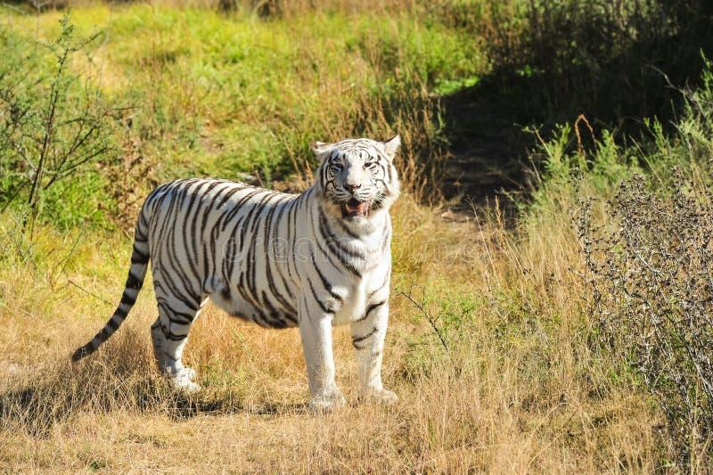 Ein seltener weißer Tiger im wilden lizenzfreie stockfotos