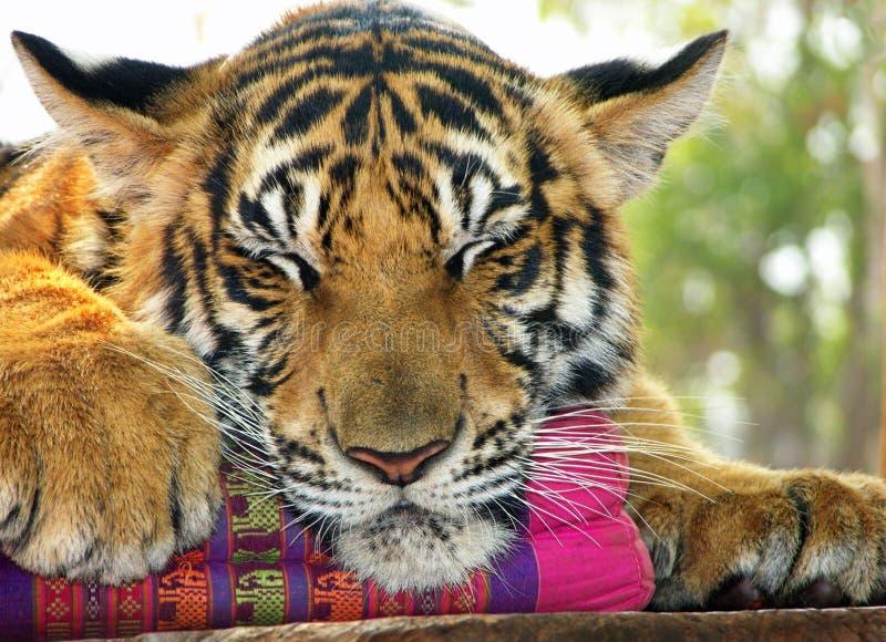 Schließen Sie herauf Tiger das Gesicht u. Tatzen, die auf Kissen schlafen stockfotos