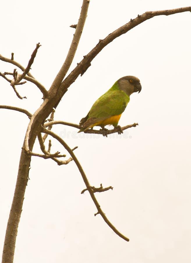 Ein Senegal-Papagei stockfotografie