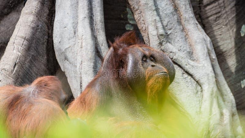 Ein sicherndes erwachsenes Orang-Utan Porträt lizenzfreie stockfotos