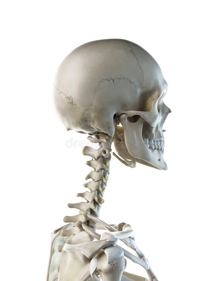 Ein skelettartiger Hals der Frauen vektor abbildung