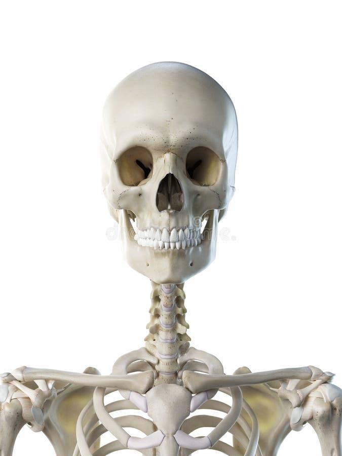 Ein skelettartiger Hals der Frauen stock abbildung