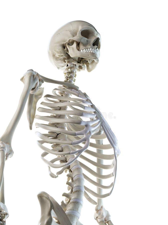 ein skelettartiger Thorax der Frauen lizenzfreie abbildung
