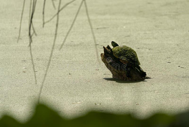 Ein Sonnenbad nehmende Schildkröte bedeckt in der Entengrütze lizenzfreie stockbilder