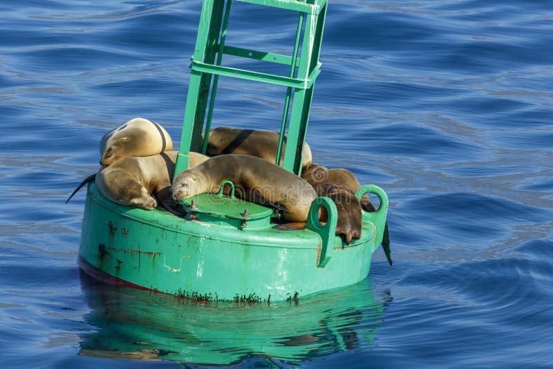 Ein Sonnenbad nehmende Seelöwen auf einer Boje stockbild