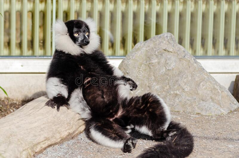 Ein Sonnenbad nehmender Maki lizenzfreies stockfoto