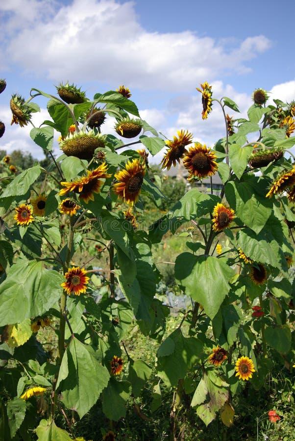 Ein Sonnenblumetag stockfoto