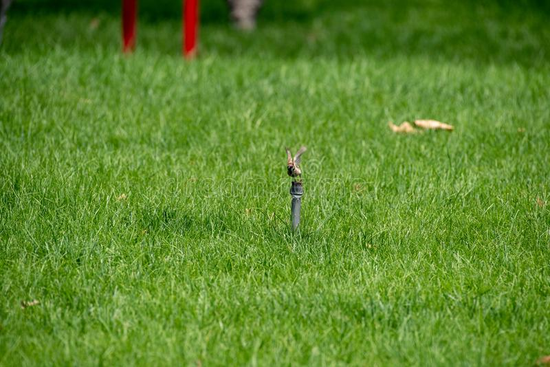 Ein Spatz in Sommer passer montanus, englischer Name: Eurasischer Feldsperling lizenzfreie stockfotografie