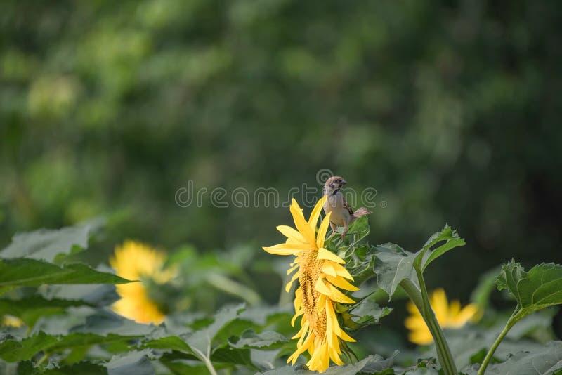 Ein Spatz in Sommer passer montanus, englischer Name: Eurasischer Feldsperling stockfotografie