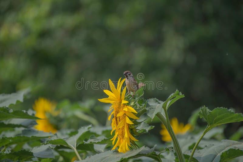Ein Spatz in Sommer passer montanus, englischer Name: Eurasischer Feldsperling stockbild