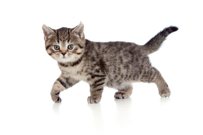 Ein spielerisches Kätzchen. Briten-Brut. Tabby. lizenzfreie stockbilder