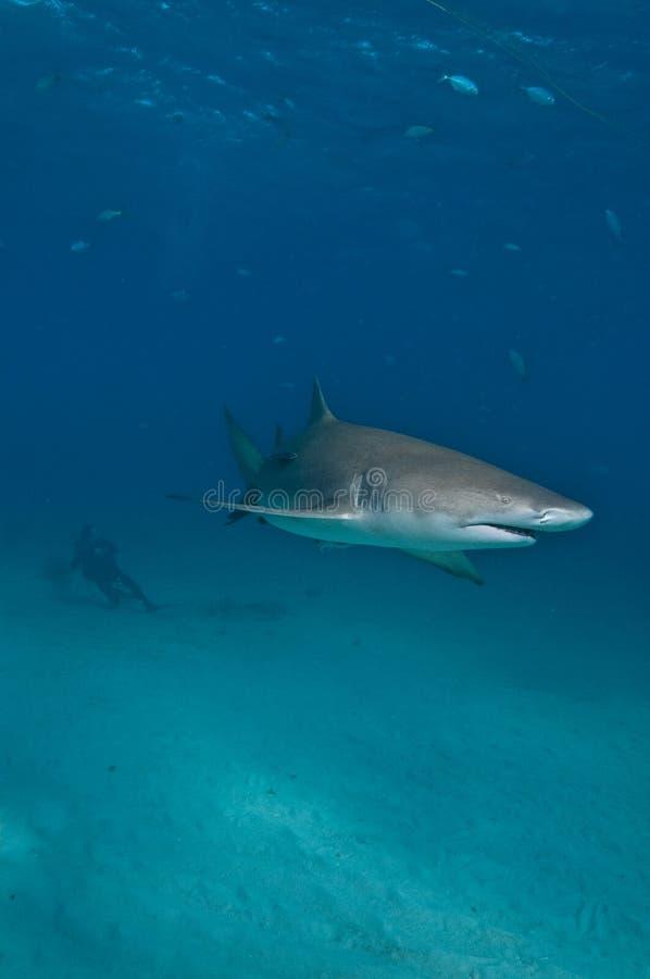 Ein Sporttaucher, der einen Zitronenhai aufpasst stockfotos