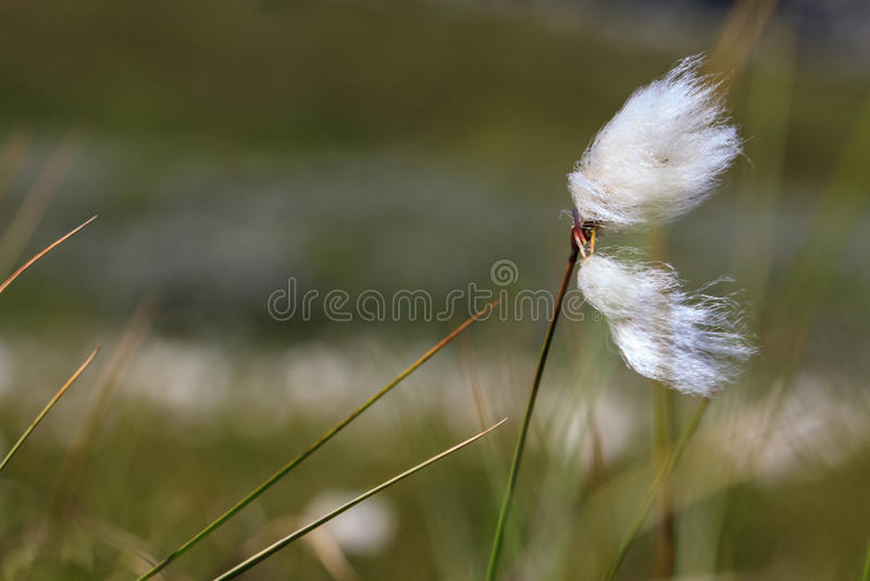 Ein Stück Wollgras durchbrennend im Wind stockbilder