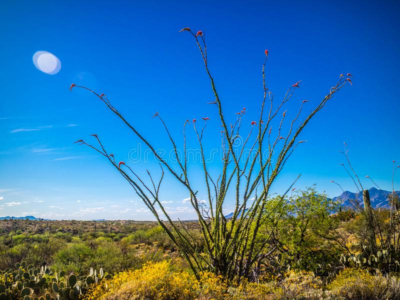 Ein stacheliger Stämme Ocotillo im Saguaro-Nationalpark, Arizona stockfotografie