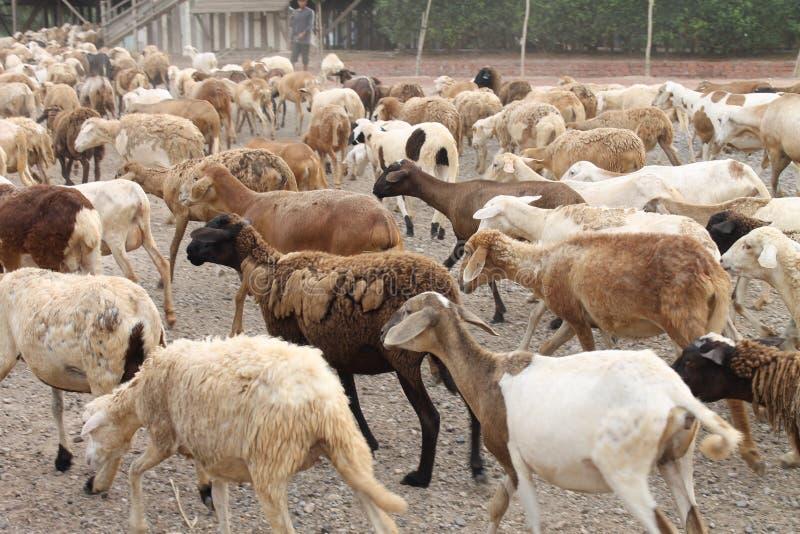 Ein Stamm von Ziegen stockfotos