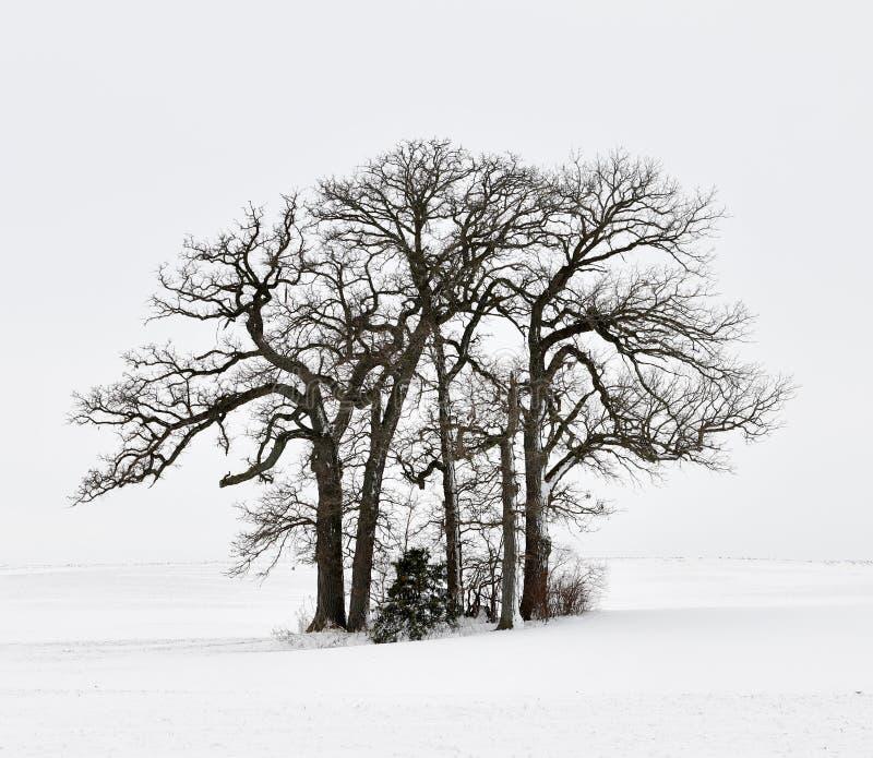 Ein Stand von Laubbäumen auf einem Gebiet des Schnees stockfotografie