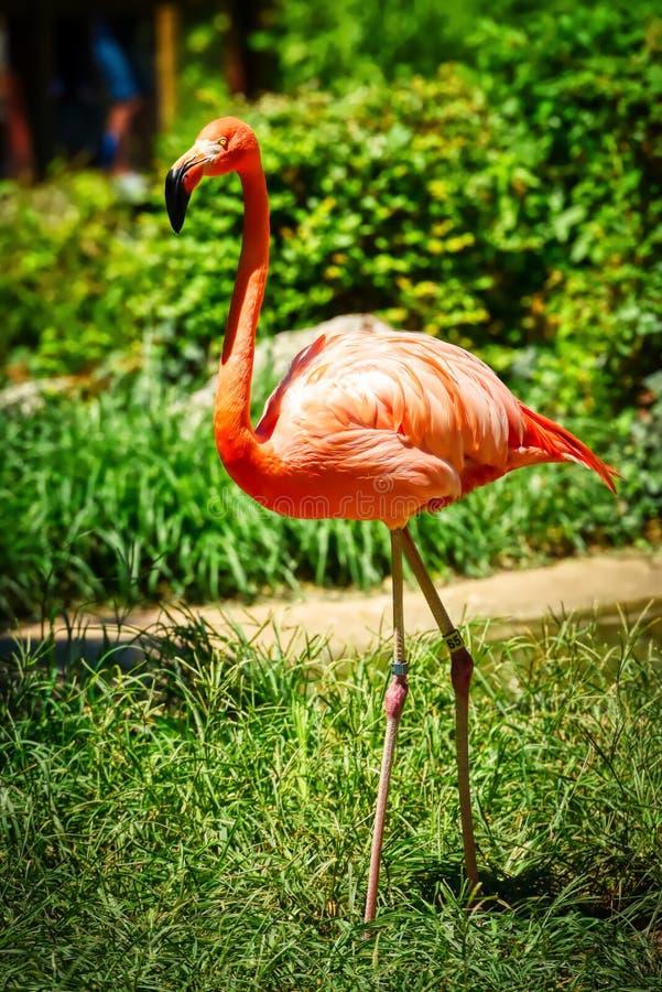 Ein stehender rosa Flamingo mit einem grünen Hintergrund stockfoto
