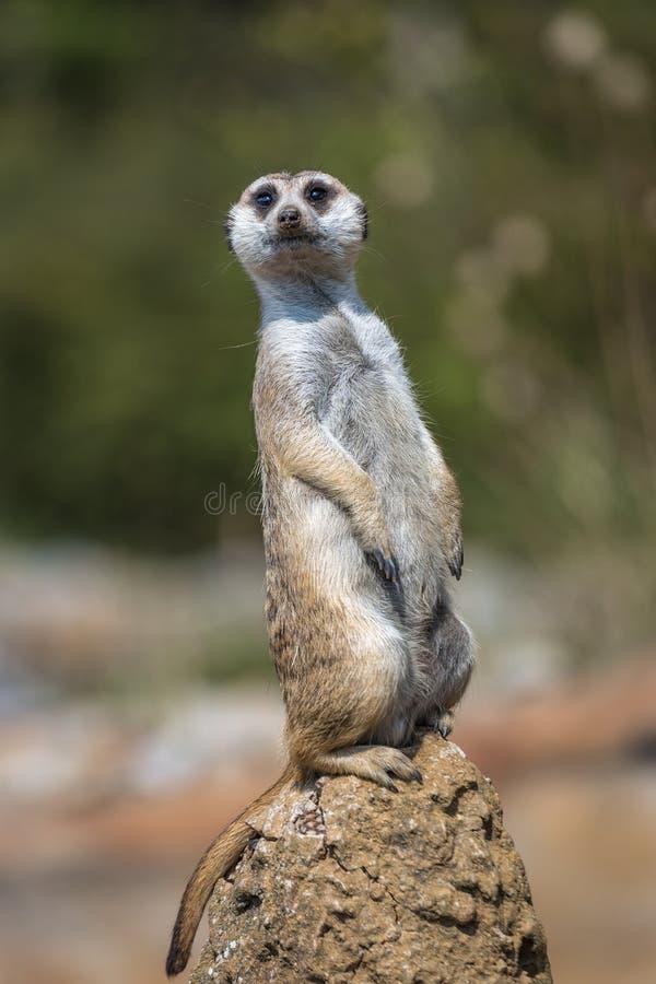 Ein stehendes meerkat lizenzfreie stockbilder