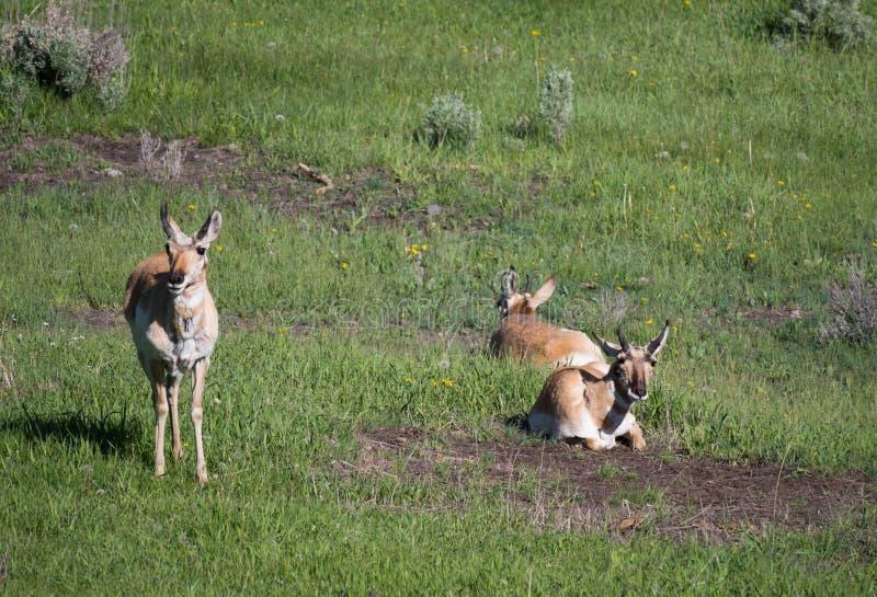 Ein stehendes Pronghorn und stillstehende männliche Antilope zwei lizenzfreies stockbild