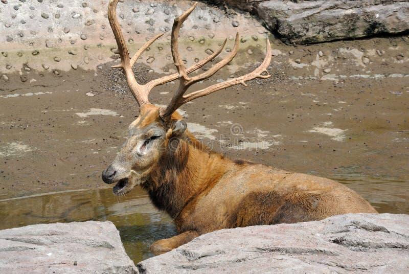 Ein Stier-Elch lizenzfreies stockfoto