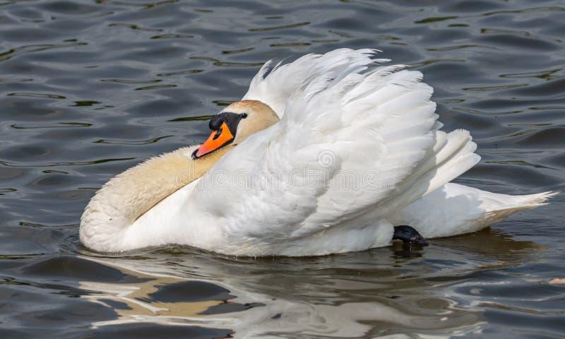 Ein stillstehender Schwan an einem lokalen See lizenzfreie stockbilder