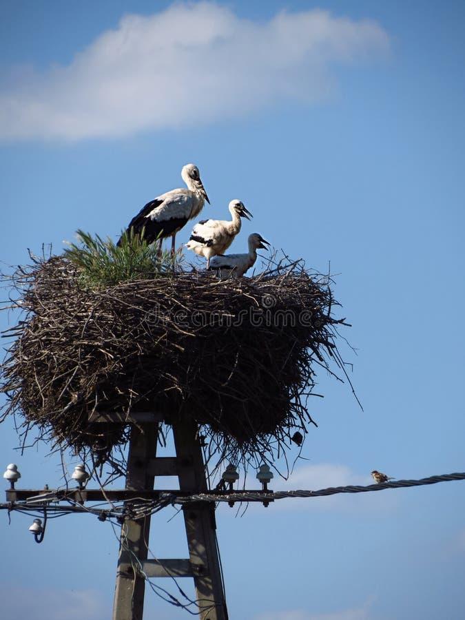 Ein Storch, der in seinem Nest mit zwei Babys steht lizenzfreie stockbilder