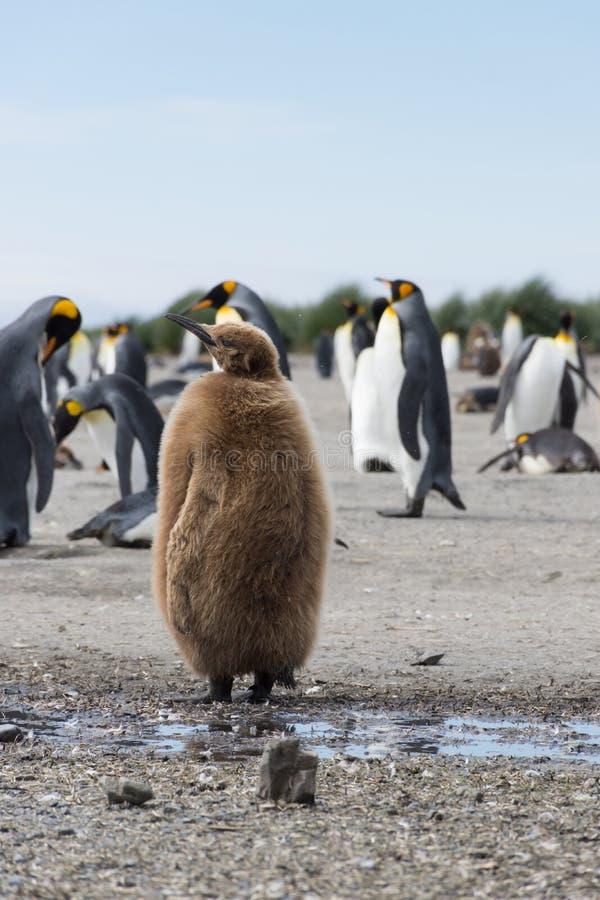 Ein Stout jugendlicher König Penguin oder Werg-Junge mit flaumigen Federn Browns stockfotos
